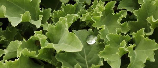 Riverstone Farm Lettuce